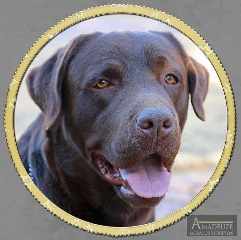 Ben - Chocolate Male Labrador