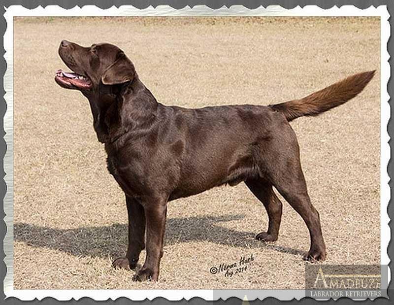 Ben - Chocolate Male Labrador from Amadeuze