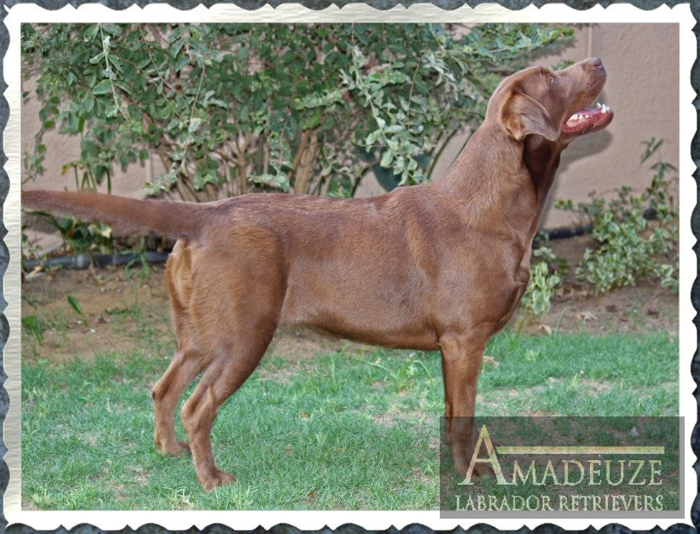 Ella chocolate Labrador female from Amadeuze