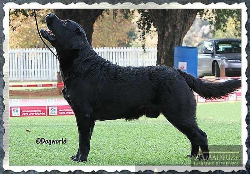 Hubert - black Labrador Retriever male from Amadeuze, South Africa