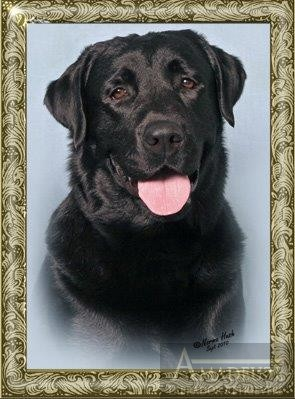 Trotter Male Black Labrador Profile Pic