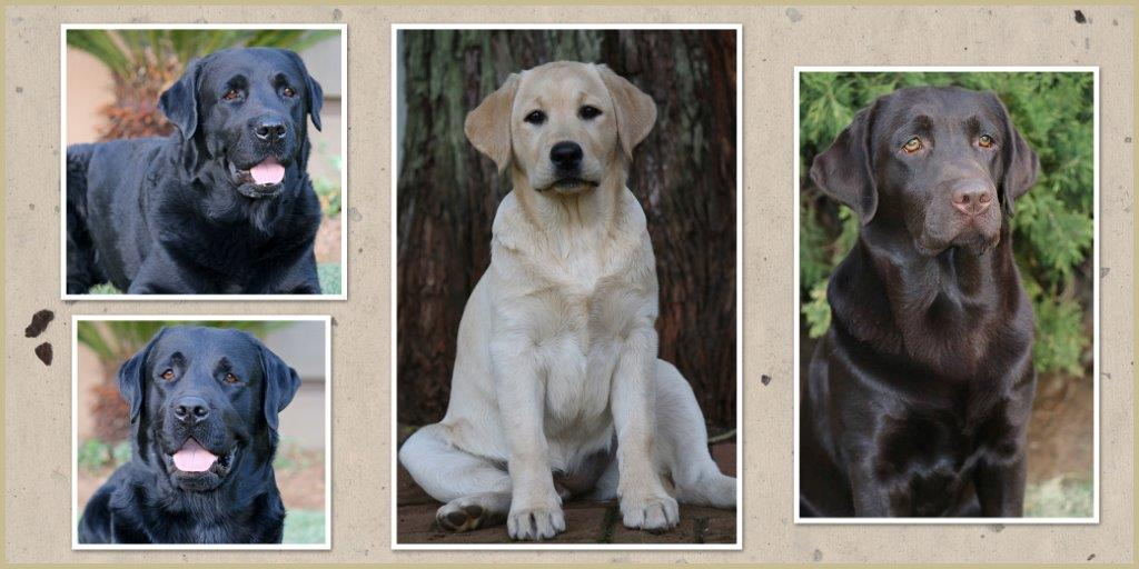 Labrador Retrievers from Amadeuze Labrador Breeder