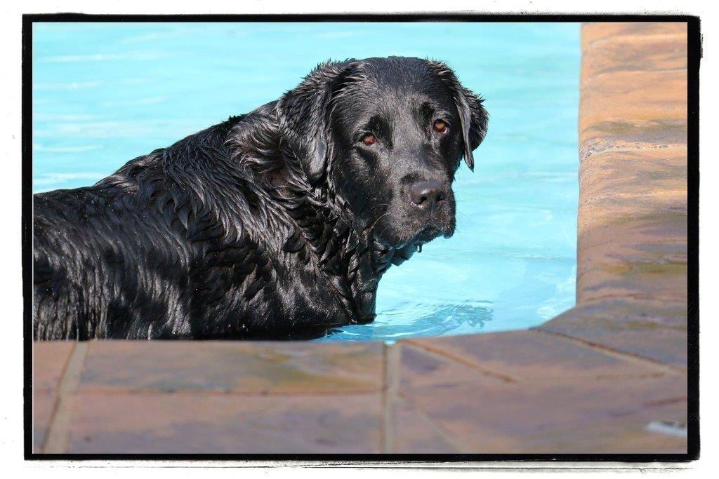 Champion Poplap black female Labrador Retriever from Amadeuze