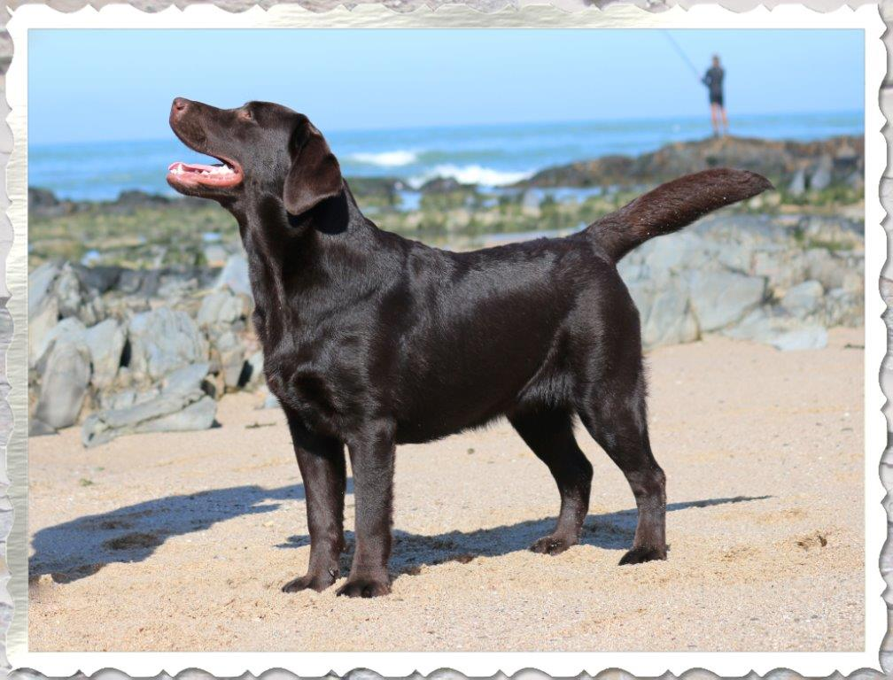 Champion Maggie, chocolate Labrador female from Amadeuze