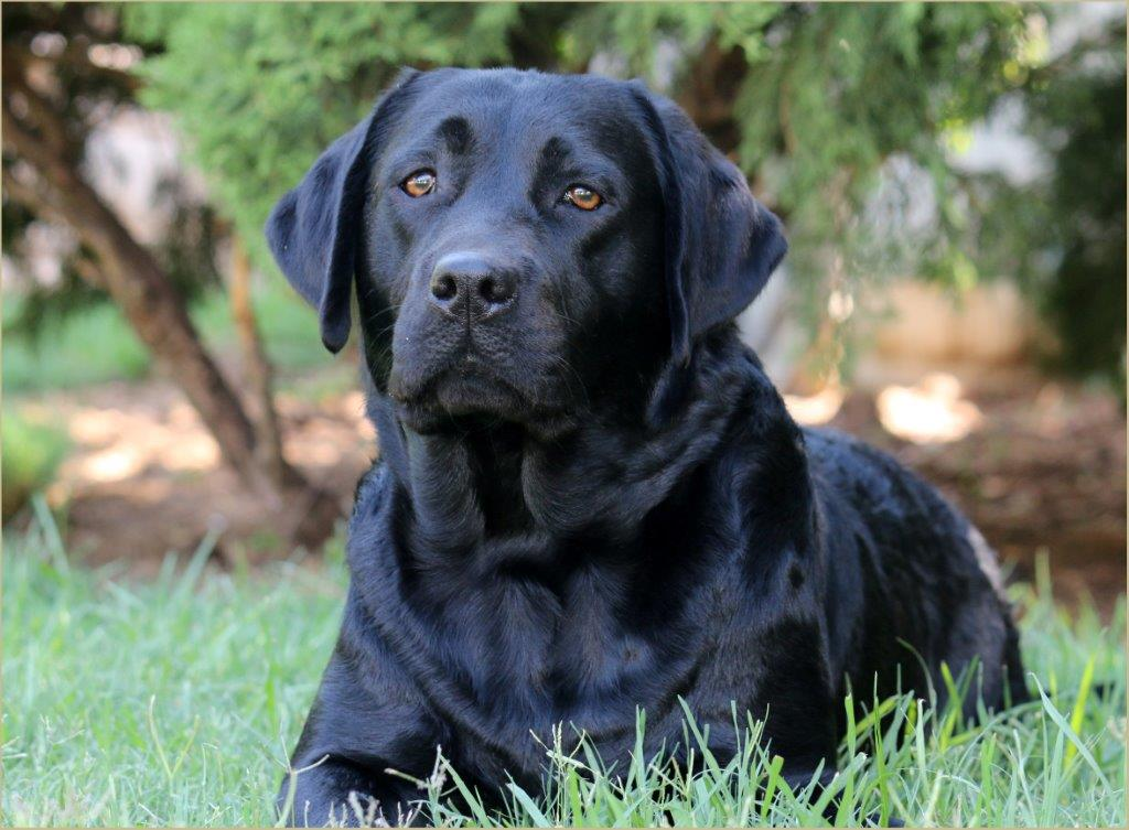 Trix - black female Labrador Retriever from Amadeuze