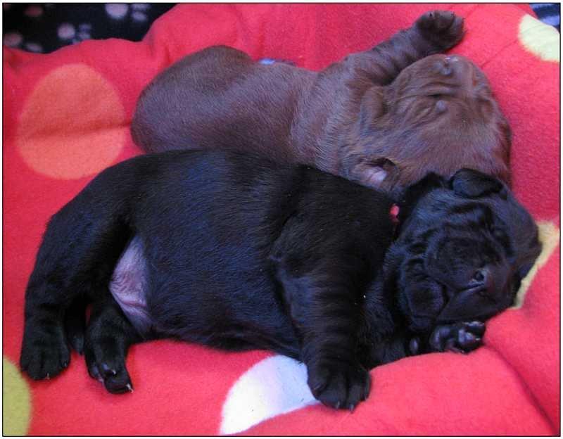 2012 puppies  labrador 3