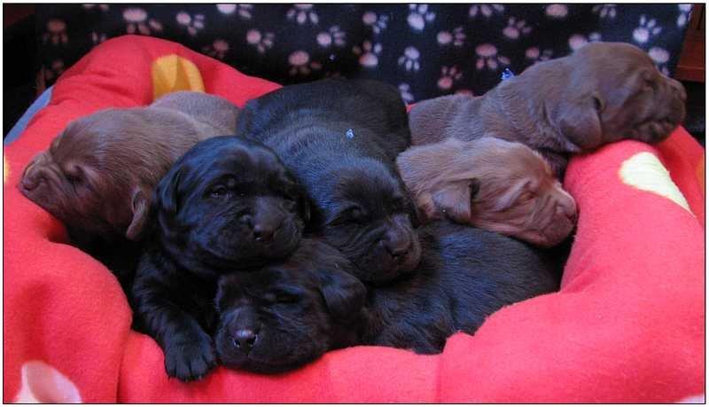2012 puppies  labrador 4 (1)