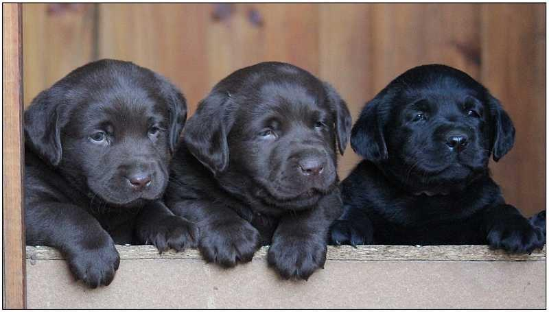 2013 Puppies  labrador 31