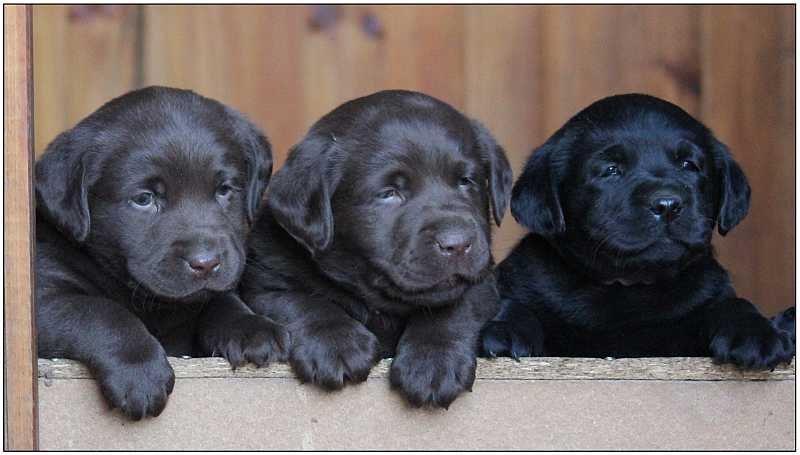 2013 Puppies  labrador 31