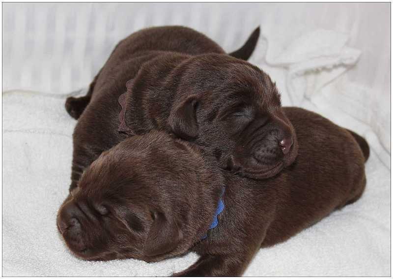 2013 Puppies  labrador 63