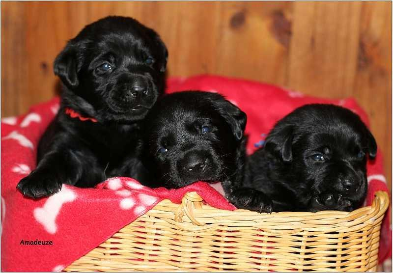 2014 Puppies  labrador23
