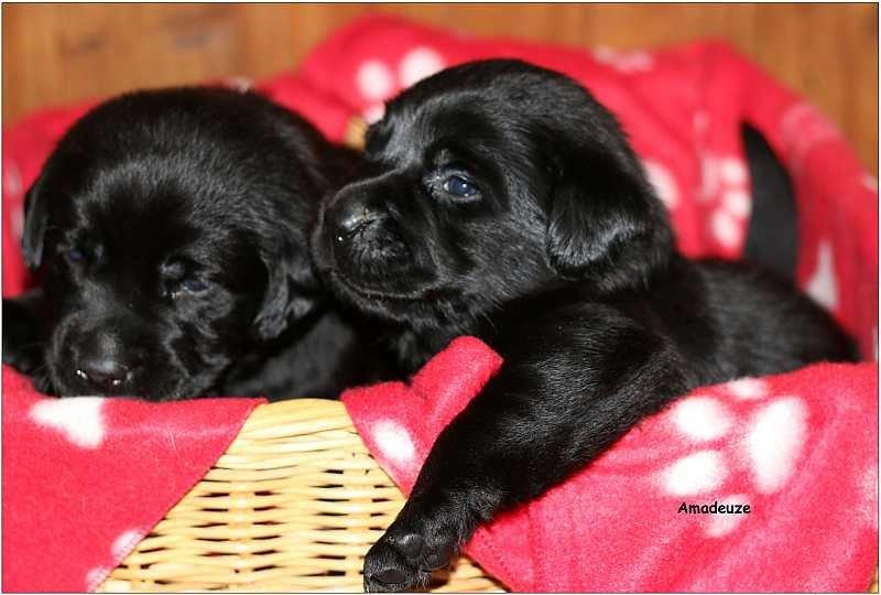 2014 Puppies  labrador44