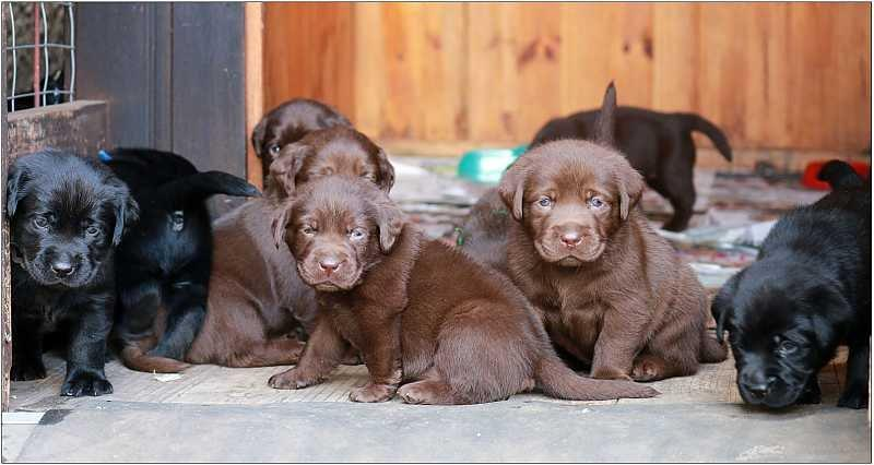 2014 Puppies  labrador51