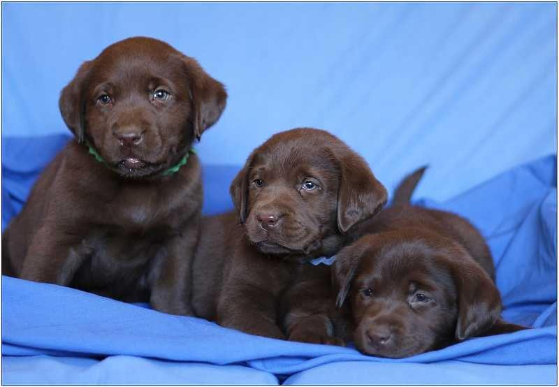 2014 Puppies  labrador71
