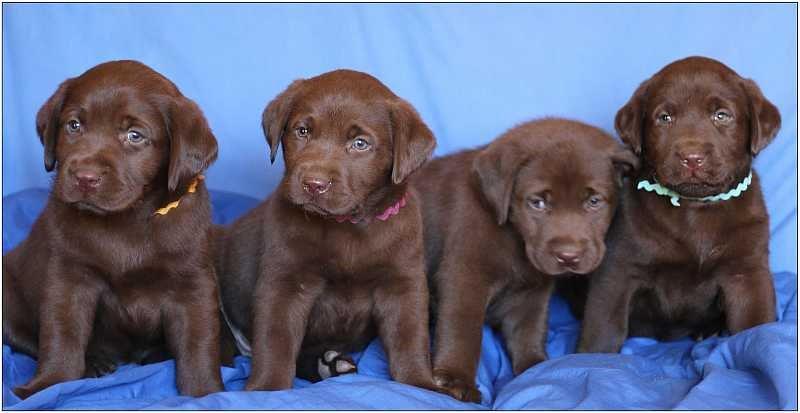2014 Puppies  labrador772