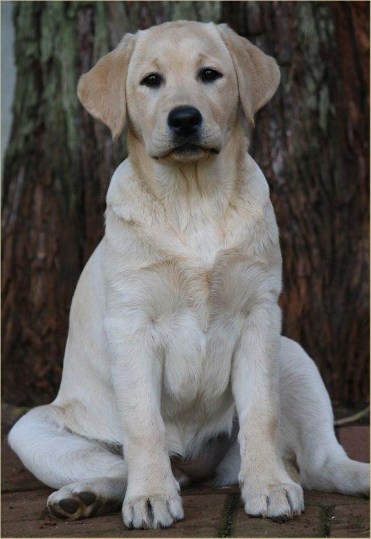 Champion Amber, yellow female Labrador from Amadeuze