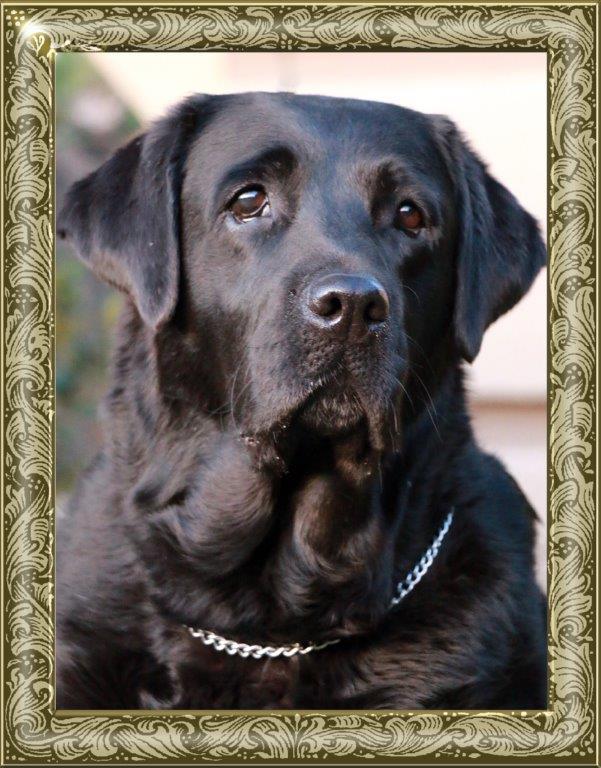 Champion Allegra, black female Labrador from Amadeuze