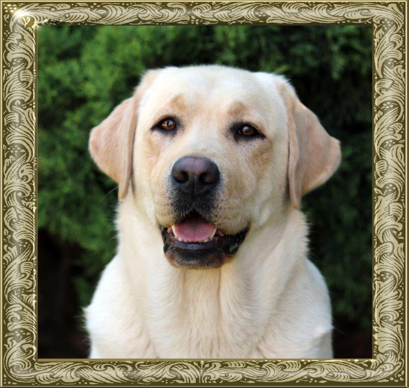 Champion Amber, yellow female Labrador from Amadeuze