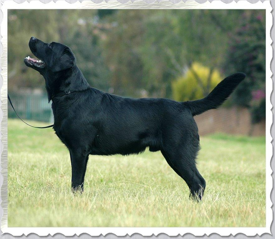 Don - Black Male Labrador Retriever from Amadeuze South Africa