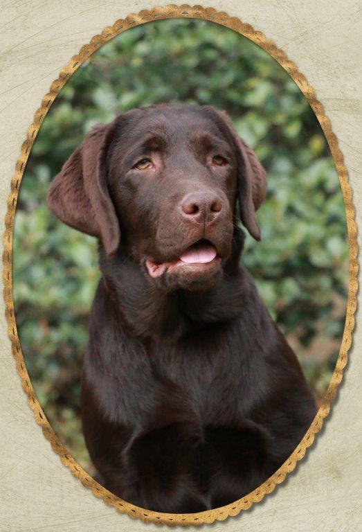 Evie chocolate Labrador female from Amadeuze