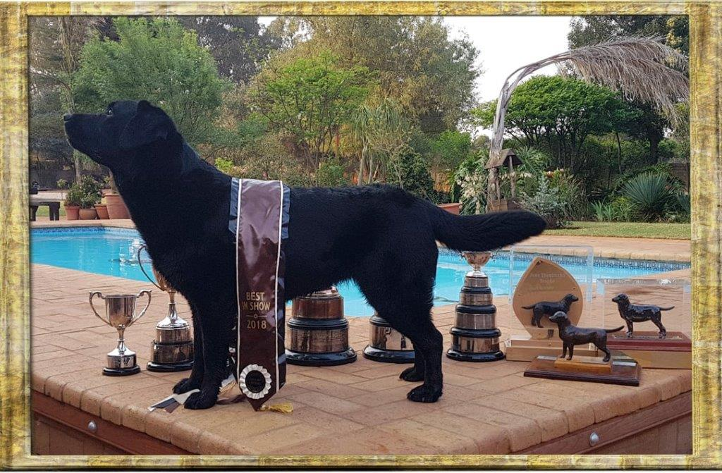 Kiara - Black Labrador female from Amadeuze