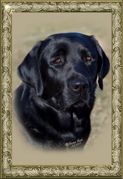 Klara - Black Labrador female from Amadeuze