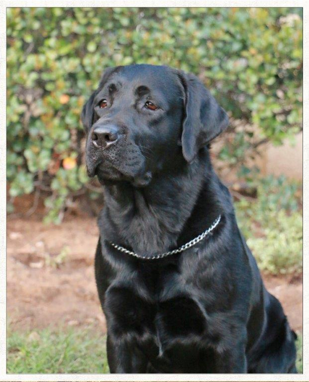 Champion Miekie, black Labrador female from Amadeuze