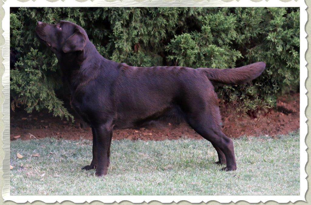 Champion Millie Female chocolate Labrador Retriever from Amadeuze