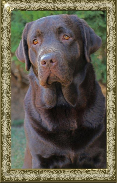 Champion Oscar chocolate Labrador retriever from Amadeuze