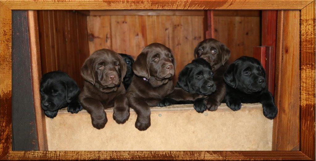 Puppies black & choc