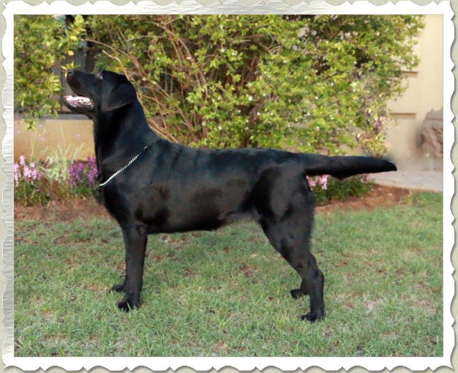 Queeni, black female Labrador from Amadeuze