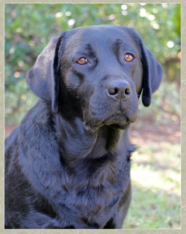 Trix - black female Labrador Retriever from Amadeuze