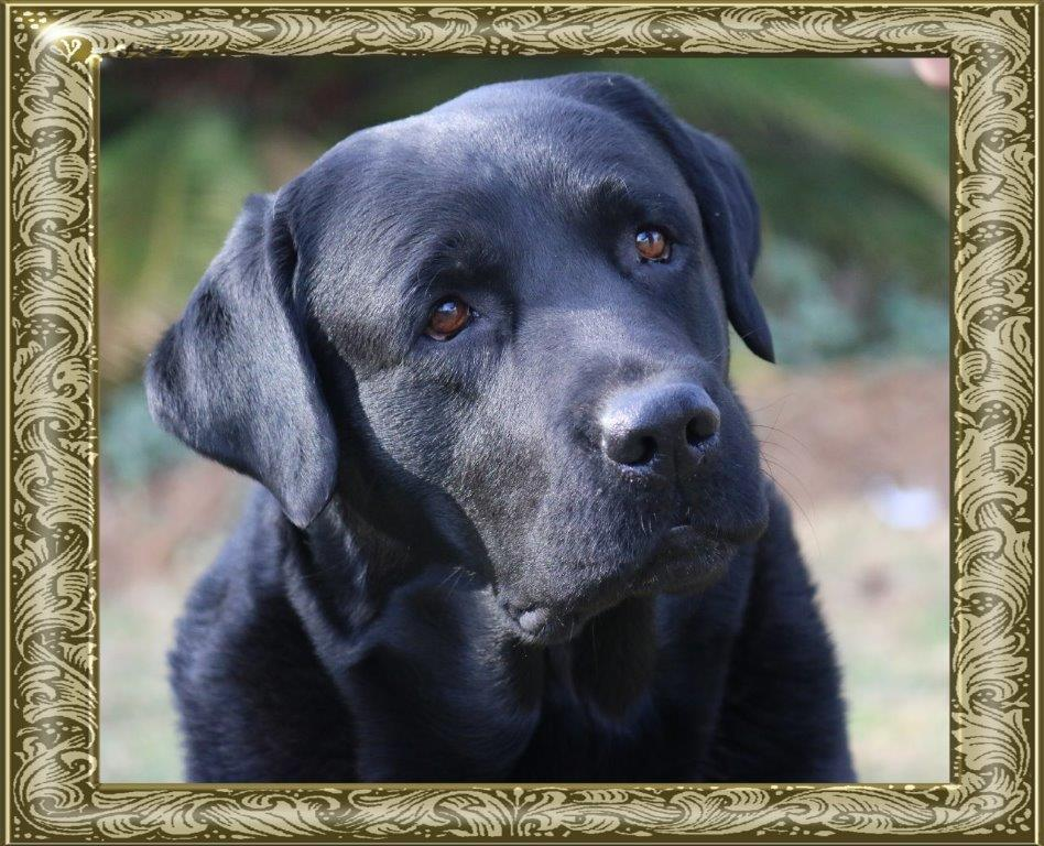 Trotter - Black Male Labrador Retriever from Amadeuze