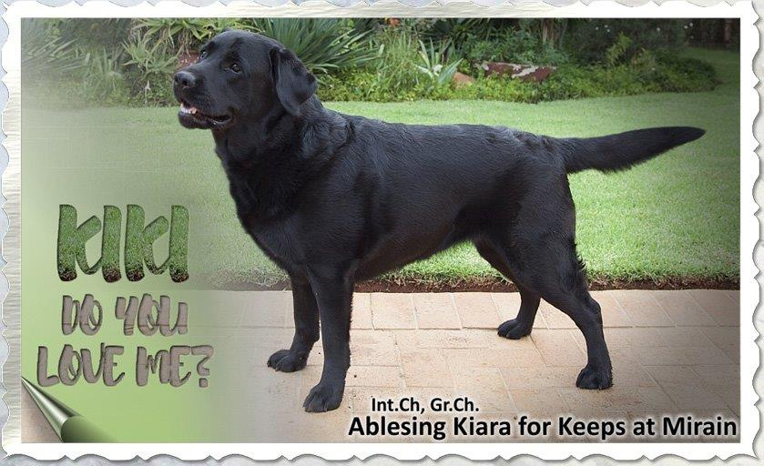 Kiara - Black Labrador female from Amadeuze