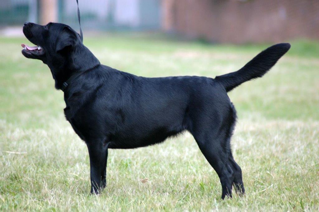 Labrador_Allegra_Apr 14