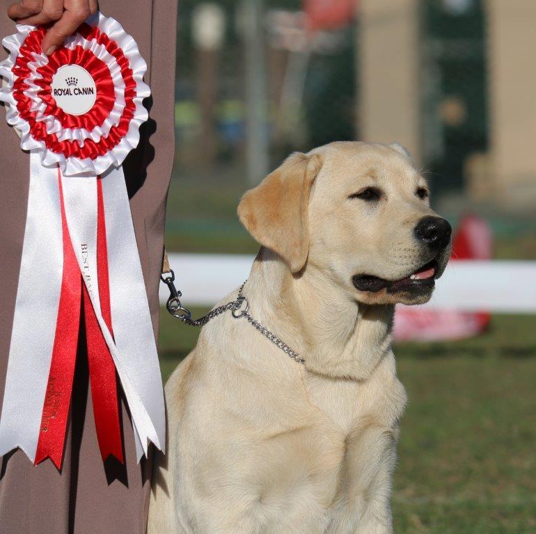 Labrador_Amber_Best in Show Baby Puppy