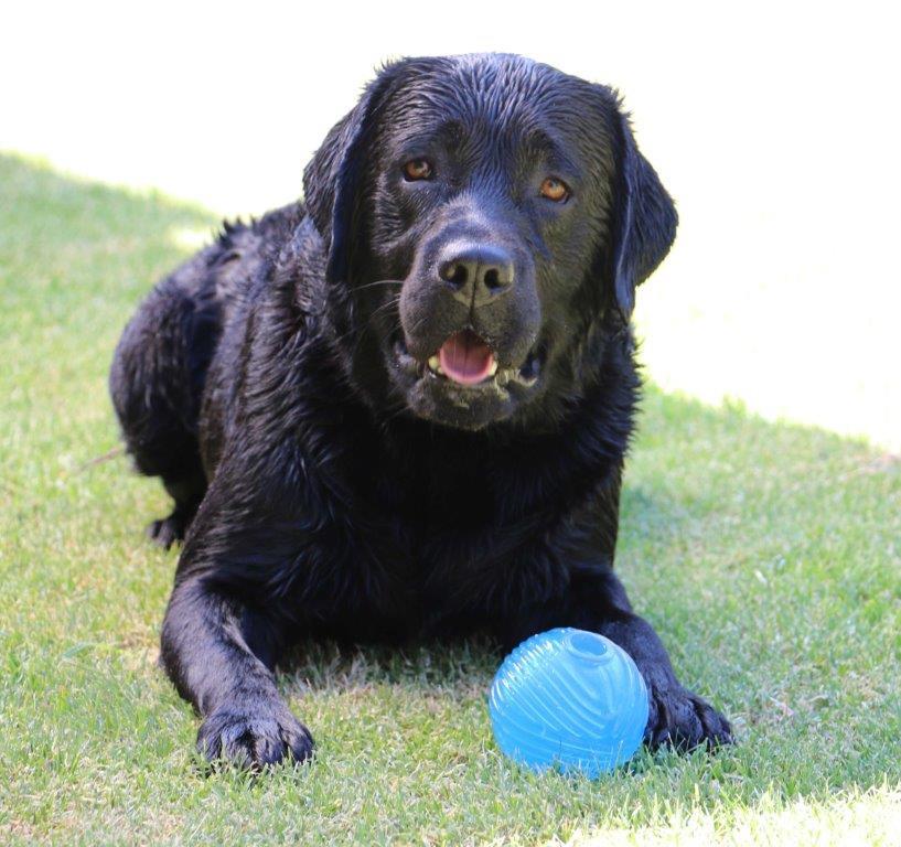 Labrador_Hubert_