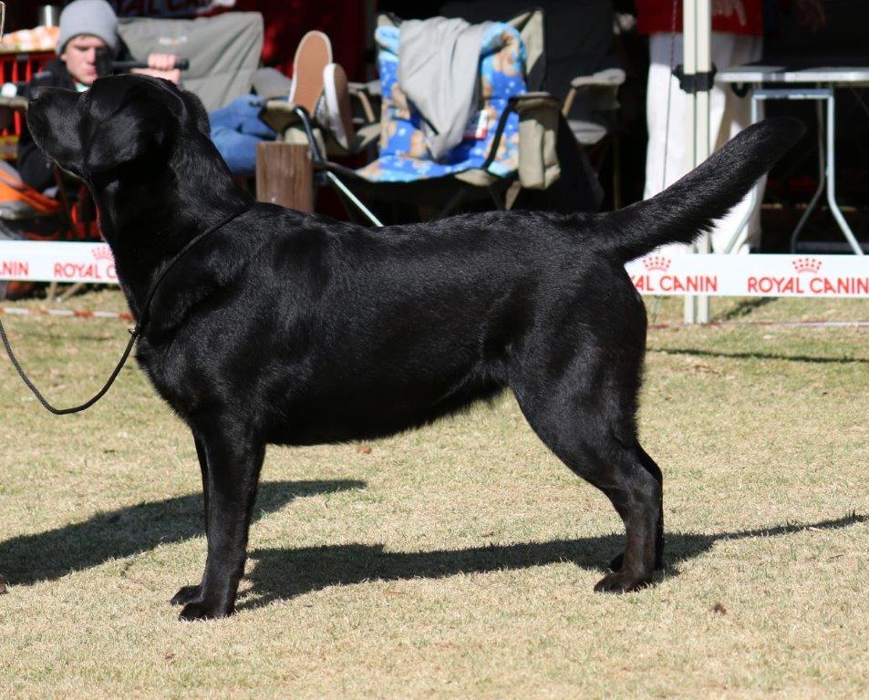 Labrador_Kiara_ 11 months