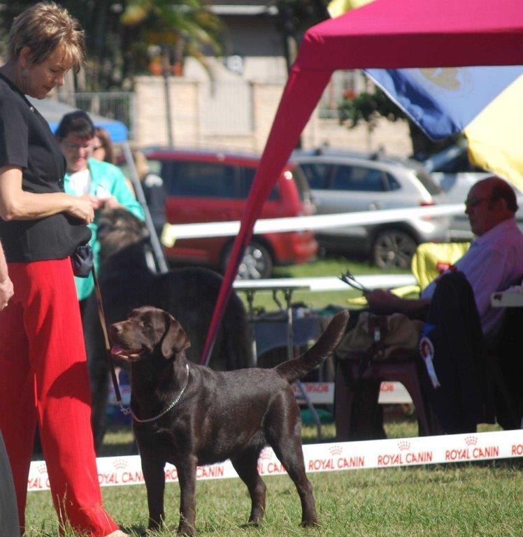 Labrador_Maggie__ KZN 12 months