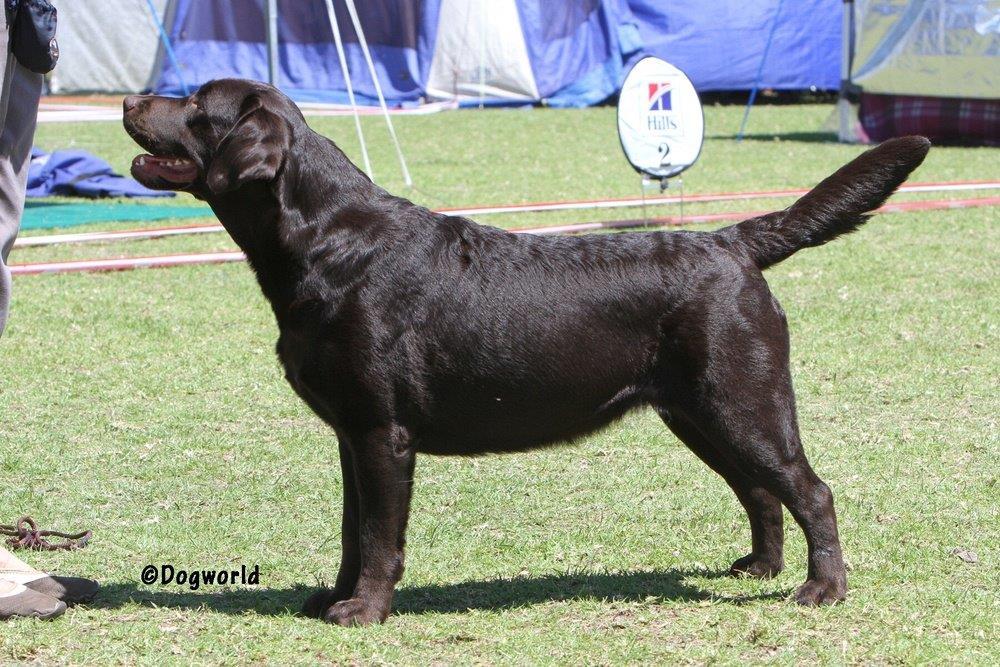 Labrador_Maggie___8816 copy