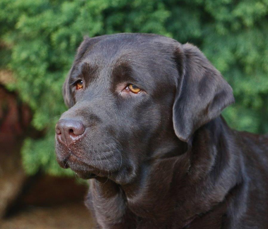 Labrador_Millie_