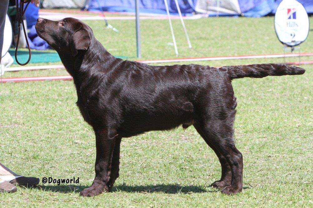 Labrador_Oscar__8822 copy