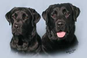 Labrador_Poplap_ Trotter 300