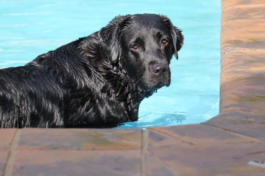 Labrador_Poplap__0288