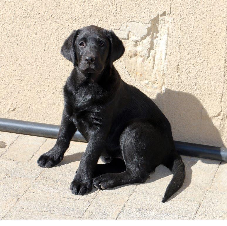 Labrador_Queeni