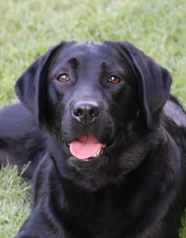 Labrador_Trixie_ 1 yr