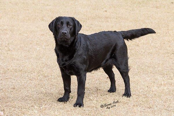 Labrador_Trixie_ 1408_1123