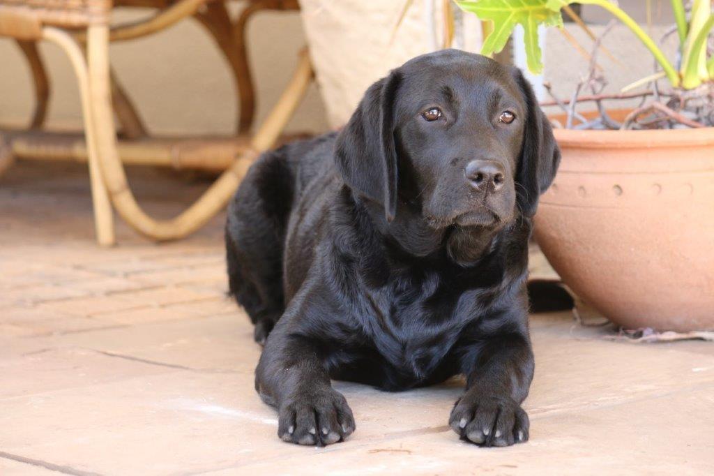 Labrador_Trixie_ _5932