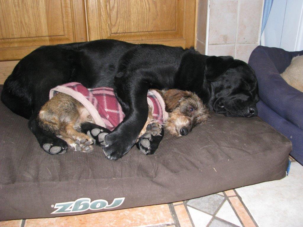Labrador_Trotter__8343