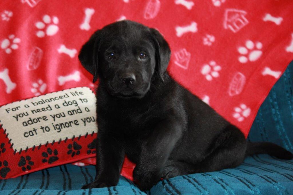 Labrador_don_ 8 weeks